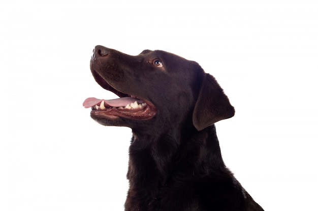 Beau chien black golden retriever