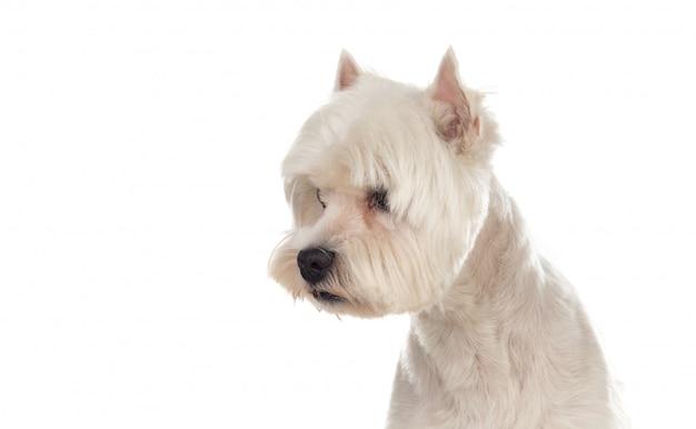 Beau chien blanc
