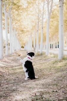 Beau chien border collie assis dans un chemin d'arbres à l'extérieur.