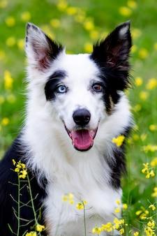 Beau chien border collie noir et blanc