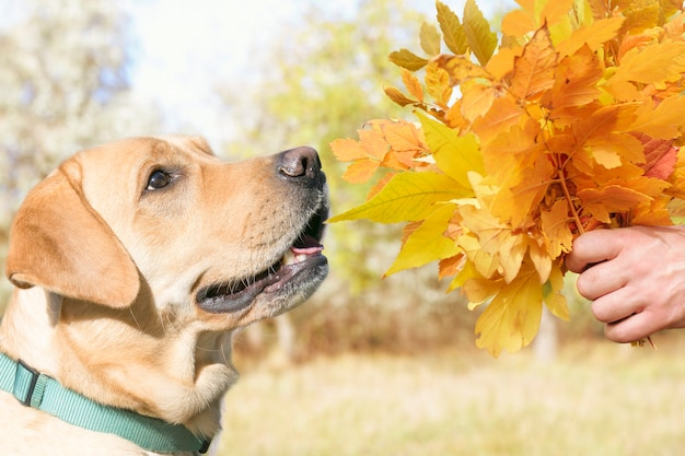 Beau chien et un bouquet de feuilles d'automne.