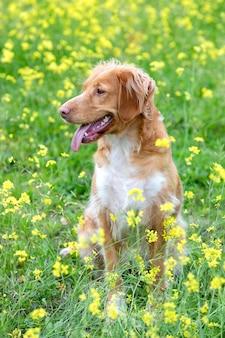 Beau chien breton brun dans un pré