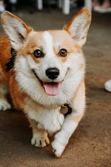 Un beau chien corgi. animal de compagnie heureux, portrait d'un corgi doré