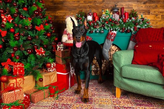 Beau chien doberman, vacances, nouvel an