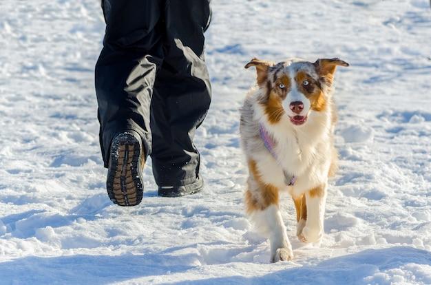 Beau chien husky sibérien avec une couleur de fourrure inhabituelle