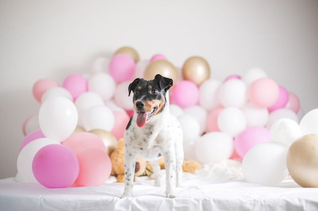 Beau chien jack russel terrier avec de nombreux ballons sur fond blanc