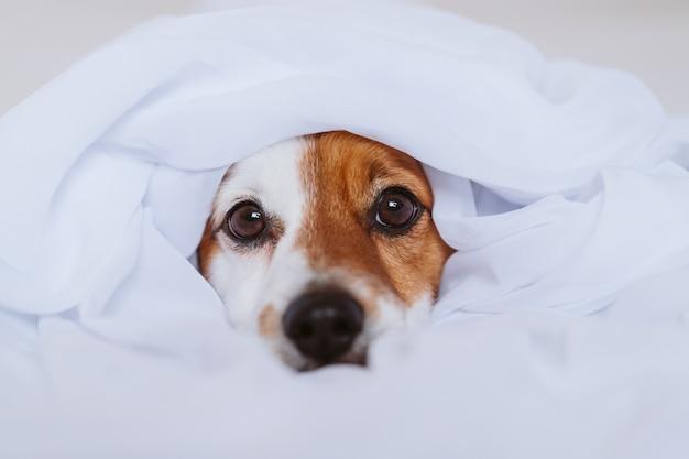 Beau chien jack russell à la maison sur un lit recouvert d'un drap blanc. concept de maison, d'intérieur et de style de vie