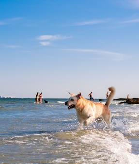 Beau chien labrador s'amuser sur la plage