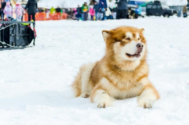 Beau chien malamute avant la course en tir au corps entier. le chien malamute a la fourrure brune.