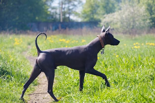 Beau chien nu mexicain se promène dans le parc en été. photo de haute qualité
