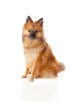Beau chien poméranien brun