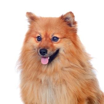 Beau chien poméranien