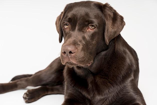 Beau chien posant avec un fond blanc