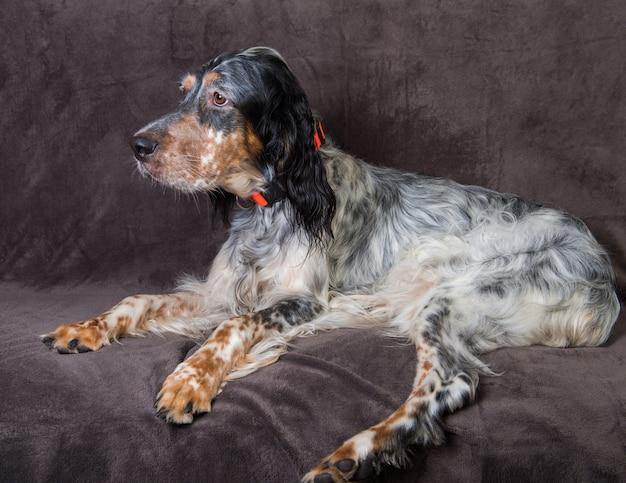 Beau chien setter anglais avec des taches brunes dormir