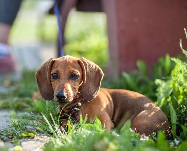 Beau chien teckel brun dans le parc. le chien se repose. marcher avec un chien dans un parc de la ville.