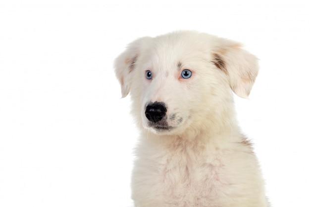 Beau chiot aux cheveux blancs et aux yeux bleus