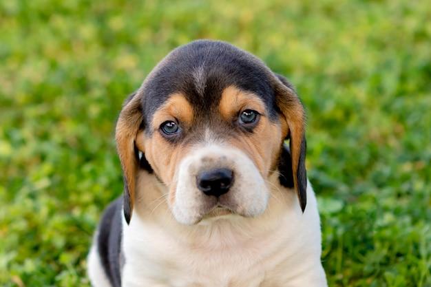 Beau chiot beagle sur l'herbe verte