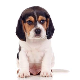 Beau chiot beagle marron et noir