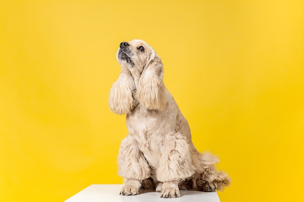 Beau chiot épagneul américain. chien mignon pelucheux toiletté ou animal de compagnie est assis isolé sur fond jaune. prise de vue en studio. espace négatif pour insérer votre texte ou image.