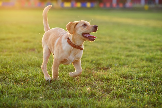 Beau chiot labrador jouant sur la pelouse au coucher ou au lever du soleil