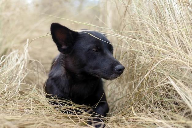 Beau chiot noir assis sur le foin à l'automne dans la nature et pense comme un philosophe
