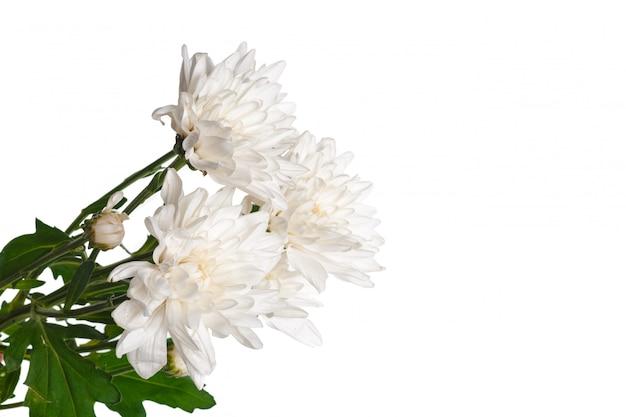 Beau chrysanthème isolé sur blanc