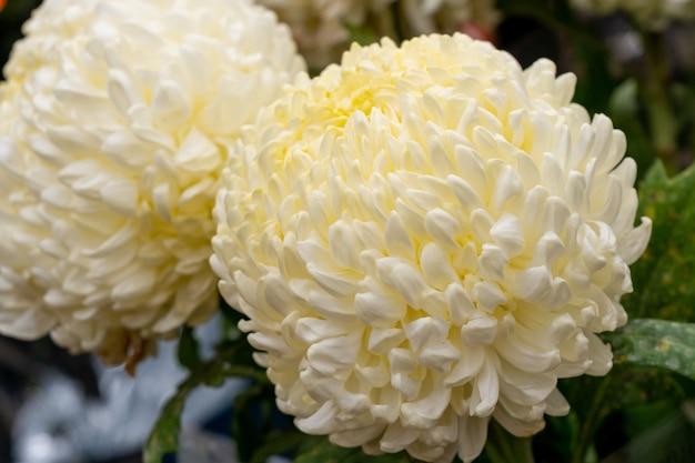 Beau chrysanthème le plus crémeux du marché aux fleurs. nature