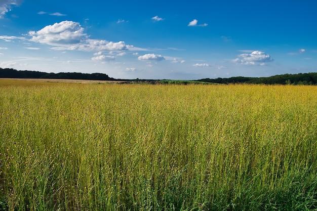 Beau cliché de champ de maïs à maransart sous un ciel bleu