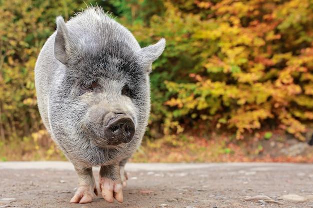 Un beau cochon. cochon gris au nez mouillé. un animal marche à travers la forêt.