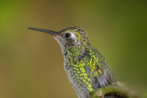 Beau colibri d'abeille verte regardant vers l'avenir avec le jaune-vert brouillé