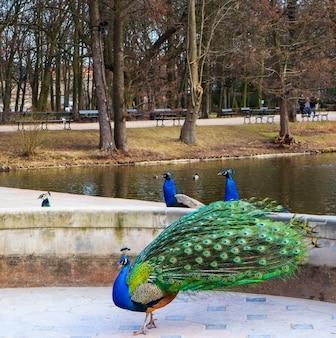 Beau et coloré paon dans le parc des bains royaux varsovie pologne