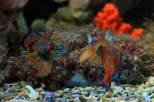 Beau combat de poissons mandarins multicolores