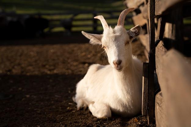 Beau concept de vie rurale de chèvre