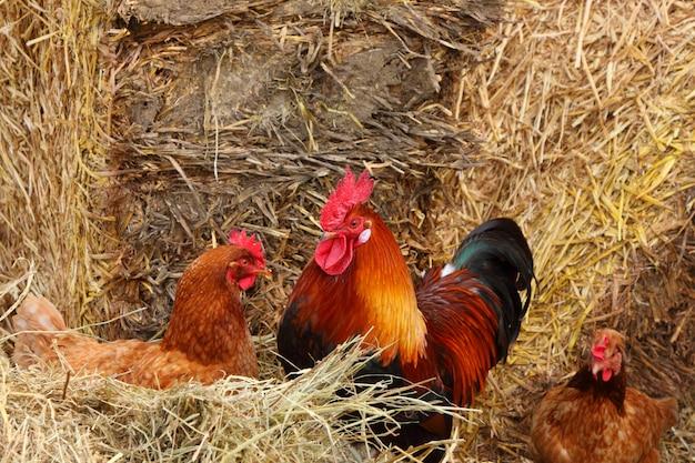 Beau coq coloré dans une cour de ferme en france