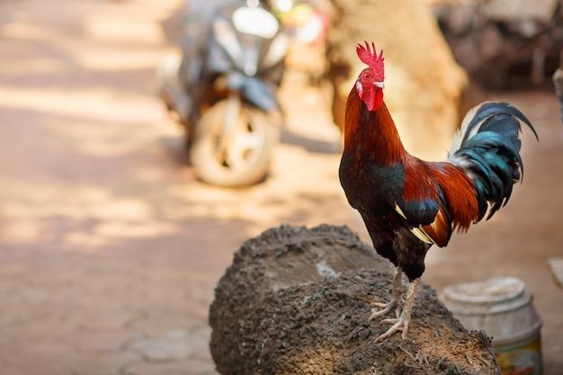Beau coq avec une crête rouge. plumes multicolores. cris des corbeaux