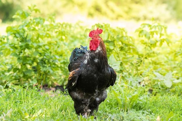 Beau coq rouge sur l'herbe verte, nature rustique à la ferme