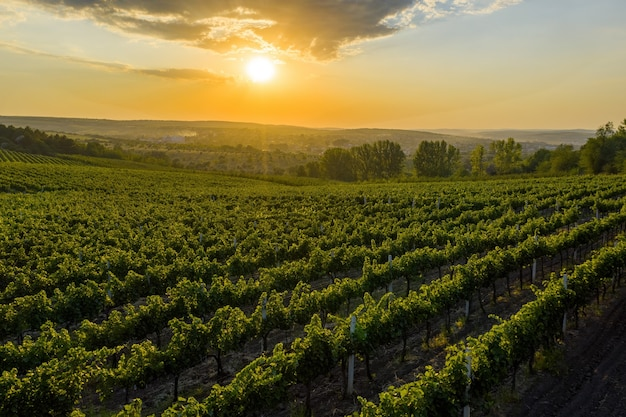 Beau coucher de soleil sur des collines verdoyantes avec des vignes cultivées