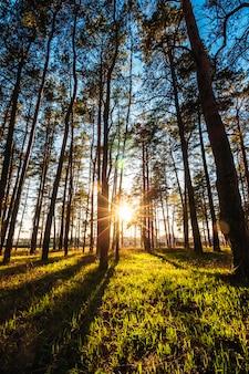 Beau coucher de soleil dans un parc de pins