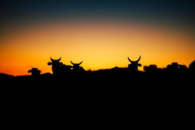 Beau coucher de soleil et vaches