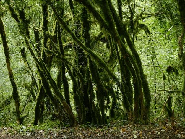 Un beau coup d'arbres moussus verts dans la forêt