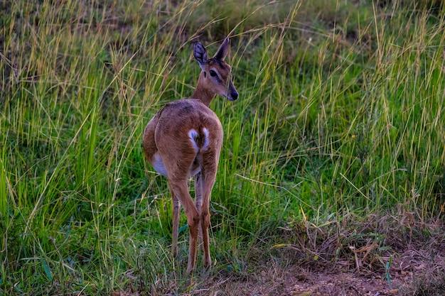 Beau coup de cerf par derrière en regardant en arrière dans un champ herbeux