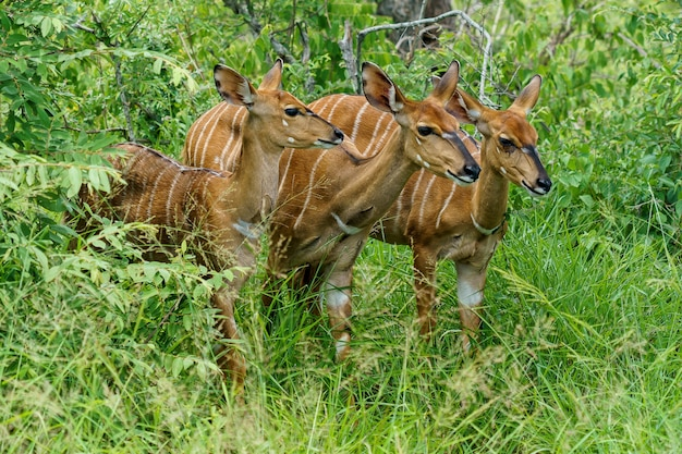 Beau coup de trois antilopes bongo debout sur un sol en herbe