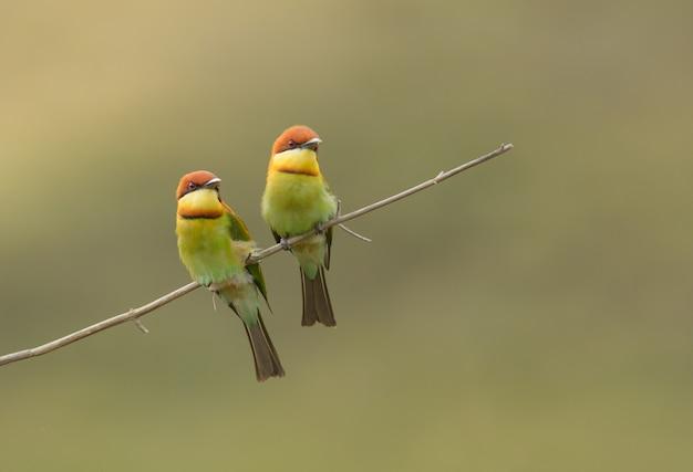 Beau couple d'oiseaux, guêpier à tête de châtaignier (merops leschenaulti)