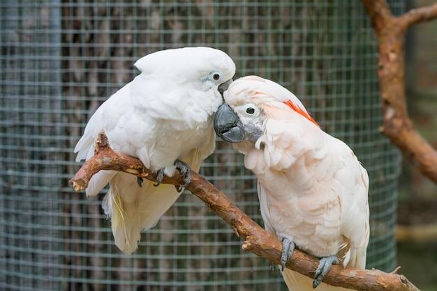 Beau couple de perroquets cacatoès blancs sur branche