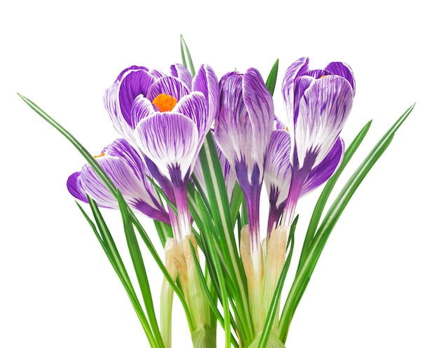 Beau crocus - fleurs de printemps fraîches. bouquet de fleurs de crocus violet.