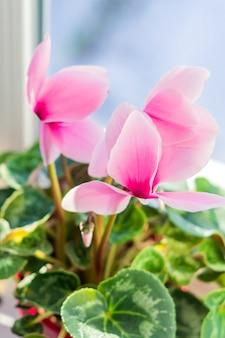 Beau cyclamen rose en pot sur le rebord de la fenêtre. fleur domestique, mise au point sélective
