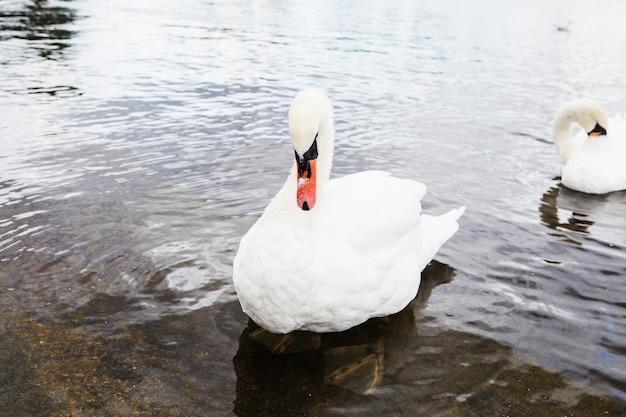 Beau cygne blanc avec la famille au lac des cygnes