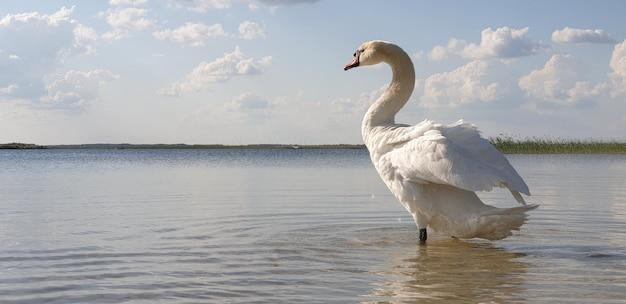 Beau cygne blanc se promène dans les eaux peu profondes