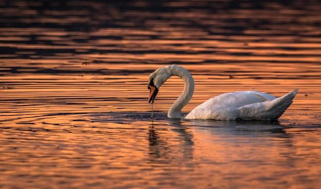 Beau cygne dans les couleurs du coucher du soleil de l'eau