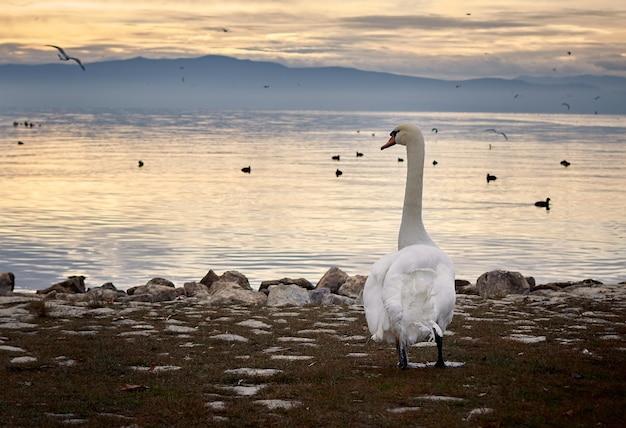 Un beau cygne perché au bord d'un lac